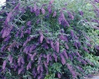 Flowering plant, Butterfly Bush, Buddleia davidii Nanho Blue- Live plant, more plants available www.etsy.com/shop/ThePlantBoutique