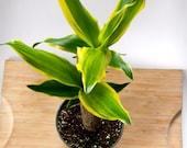 """House Plant - Dracaena Fragrans - 4"""" Potted Corn Plant - Low Maintenance Plant Decor"""