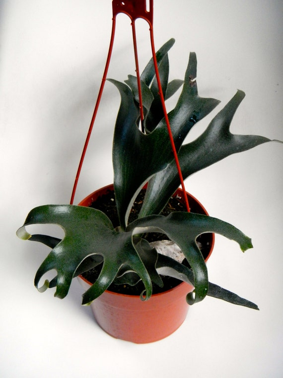 Hanging staghorn fern healthy 6 potted plant by coastalmoss - Seven tricks for healthier potted plants ...
