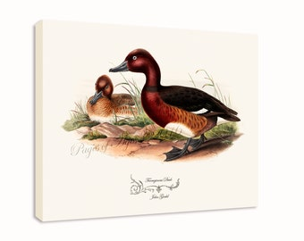 """Canvas Print - Ferruginous Duck by John Gould (1804-1881) - 16"""" x 20"""" - On Stretched Canvas"""