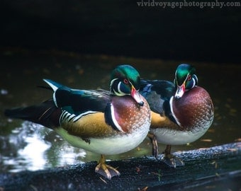 Wood Duck Photograph, Animal Photography, Bird Art, Waterfowl Photography, Bird Lovers, Nature Photography, Wildlife Photo, Digital Download