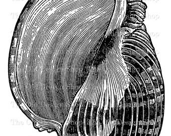 Imperial Harp Sea Shell Clip Art Vintage Printable Nautical Illustration Iron On Transfer Digital Download PNG JPG Image