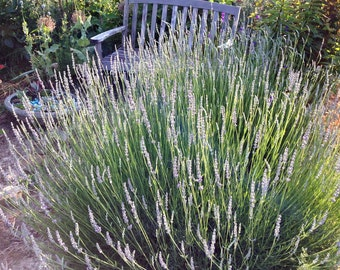 Lavender Plant, Provence Lavender, Lavandula intermedia Provence Great For Sunny Gardens and Herb Gardens