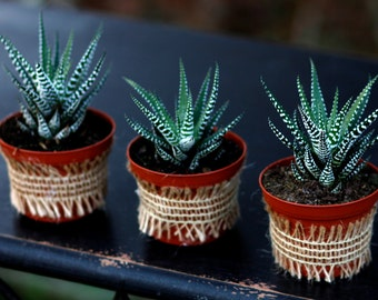 Haworthia Zebra Succulent Plant, Wedding Favor, Aloe Family, Ready to ship