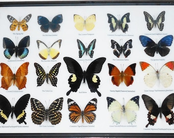 REAL 20 MIX BUTTERFLIES Collection Taxidermy Framed/BTF13F