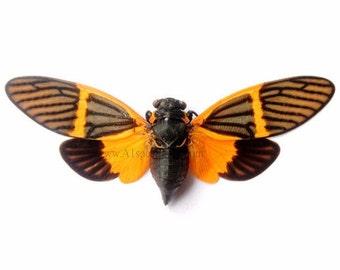 Bequartina Electa Spread Cicada A1 Specimen