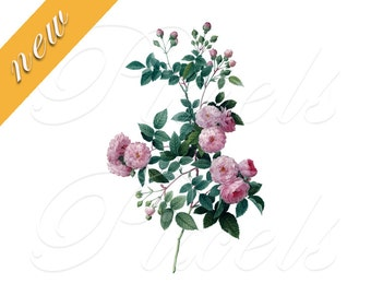 ROSES Instant Download, Redoute Digital Downloads, Redoute pink roses wedding clipart 467