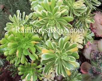 1 Aeonium tricolor succulent flower rosettes Cactus Succulents plants