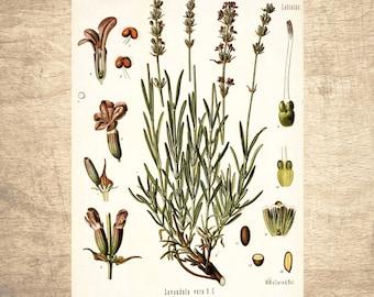 Lavendar Botanical Illustration - giclee print, choose your size - Botanicals, Vintage, Illustrations, Poster Art, Decor, Botany