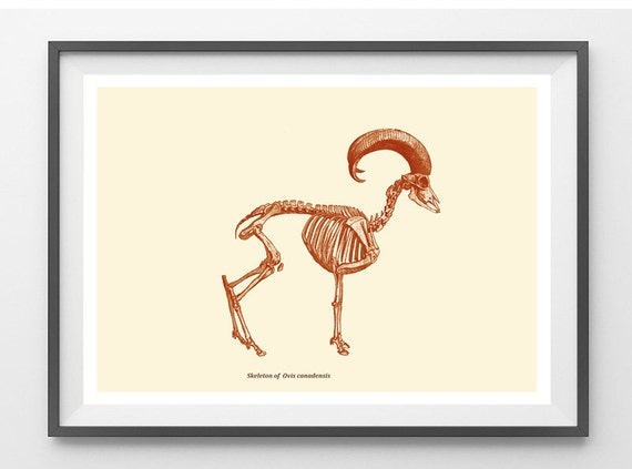 Skeleton Print Bighorn Sheep Vintage Illustration