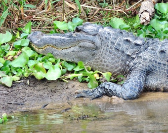 Alligator Photograph Florida Nature Photo Nature Decor 8x10 Gator Art Print