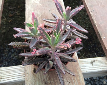 Medium Succulent Plant Kalanchoe Pink Butterflies. Lovely pink trim on these fleshy leaves resemble an octopus tenacle.
