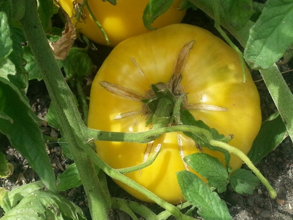 Yellow Brandywine Tomato Seeds organic seed heirloom tomato