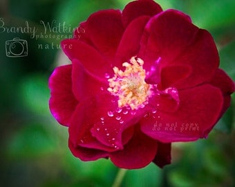 Red flower decor, red rose photograph, nature photography print, flower wall decor, rose wall decor, rose photograph, red rose decor