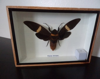 Real Cicada Tosena Fasciata Moth Boxed Insect Display Taxidermy Entomology Lepidoptera Butterfly