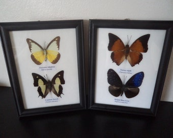4 Real Asian Butterflies Framed Display Butterfly Taxidermy Tawny Rajah Blue Crow Chocolate Albatross Common Nawab   Free Shipping !!