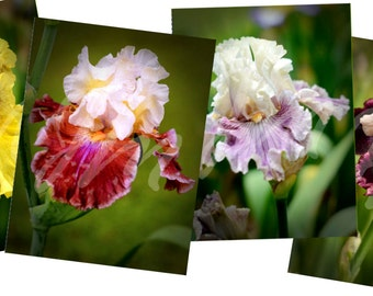 Bearded Iris Note Card Variety Pack, Blank Greeting Cards