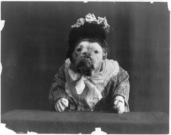 Bulldog dressed in a dress, and wearing a bonnet, late 1800's Photo Print