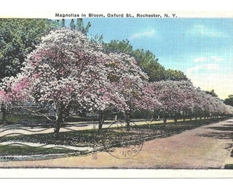Magnolias in Bloom, Oxford Street, Rochester, NY  1937 Postcard