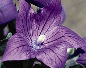 40+ Violet Balloon Flower Platycodon / Perennial Flower Seeds