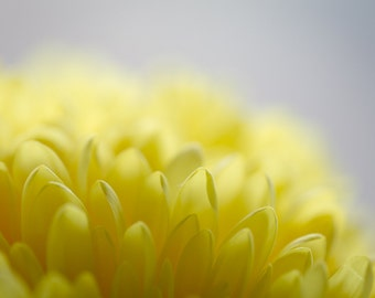 Simple Yellow Flower, Macro Fine Art Print, Wall Art