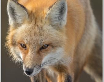 "Red Fox 16""x16"" Metal Print"