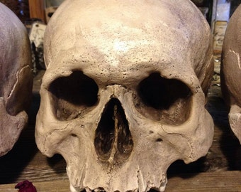 Reproduction human skull