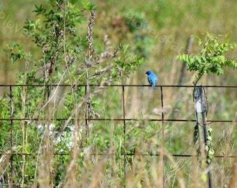 Indigo Bunting Photograph // Blue Bird on a Wire Print // Bird on a Fence Picture