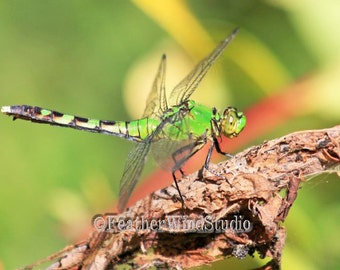 Dragonfly Photo | Eastern Pondhawk | Lime Green Home Office Decor | Wildlife | Male Insect | Boys Girls Room Insect Art | Dragon Fly Print