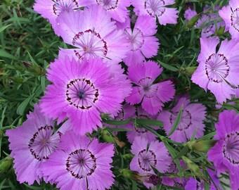 SALE! Dianthus 'Siberian Blues' Seeds