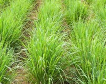 Lemongrass Organic Essential Oil (Cymbopogon Flexuosus) 100% Pure Therapeutic Grade
