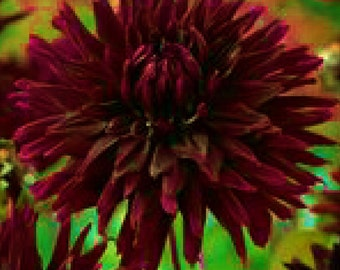 25 Cactus Dahlia Black Wizard bulbs  wholesale