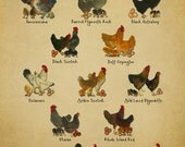 Chicken Breeds Chart Print - Vintage Poultry Print - Chicken Poster - Poultry Illustration Home Decor #vi342