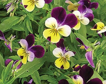Viola Helen Mount Johnny Jump Up Flower Seeds / Perennial 75+