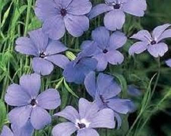 Blue Angel Viscaria Flower Seeds/ Oculata/ Annual  100+