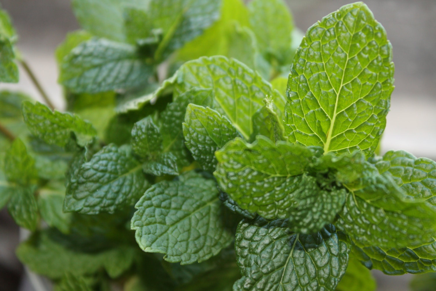 how to grow peppermint from seed