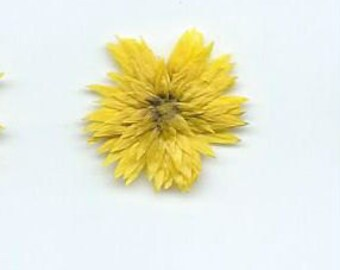 Dried Pressed Flowers Yellow Chrysanthemums (M)   #163