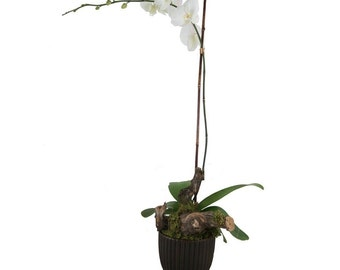 Single Orchid Phalaenopsis. LOCAL DELIVERY to: 33160, 33180, 33162, 33179, 33004, 33009, 33154, 33019, 33020, 33021