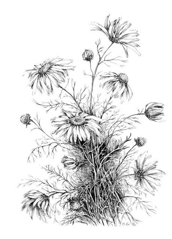 Botanical Art Original Daisy Sketch Pen And Ink Drawings