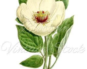White Flower Botanical Print, PNG White Flower, Vintage Graphic Digital Antique Illustration for Printing, Artwork - INSTANT DOWNLOAD - 1113