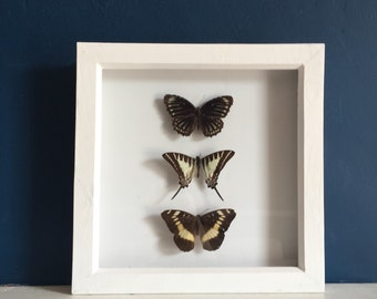 Three Real Framed Taxidermy Butterflies