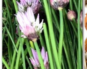 Homegrown Organic Chive Seeds -Free Shipping