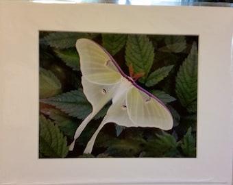 11x14 Matted Luna Moth Photograph