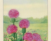 Vintage 1926 Wild Flowers Nature's Garden Original Bookplate Illustration, Print, Plumed Thistle, Natural Habitat Scene