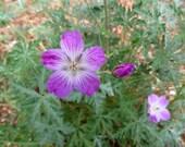 Hardy Geranium or Cranesbill Seeds (Geranium robustum)