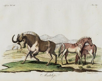 1823 Antique print of antelope, African fauna, fine hand colored engraving 193 years old
