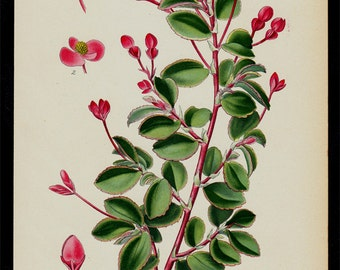 1896 Botanical Antique print, flower print, lovely chromolithograph of a fuchsia Begonia flower