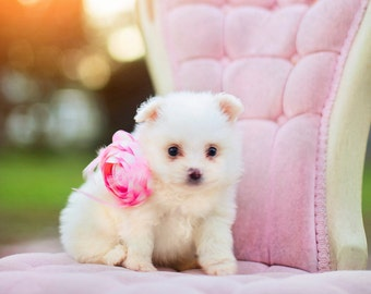 Pomeranian Puppy in Pink- Instant photo download