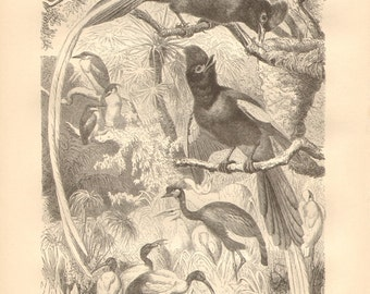 1879 Paradise Flycatchers Original Antique Engraving to Frame
