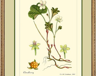 CLOUDBERRY - Vintage Botanical  print reproduction 311